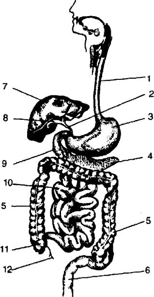 курсовая работа по анатомии обмен веществ и энергии