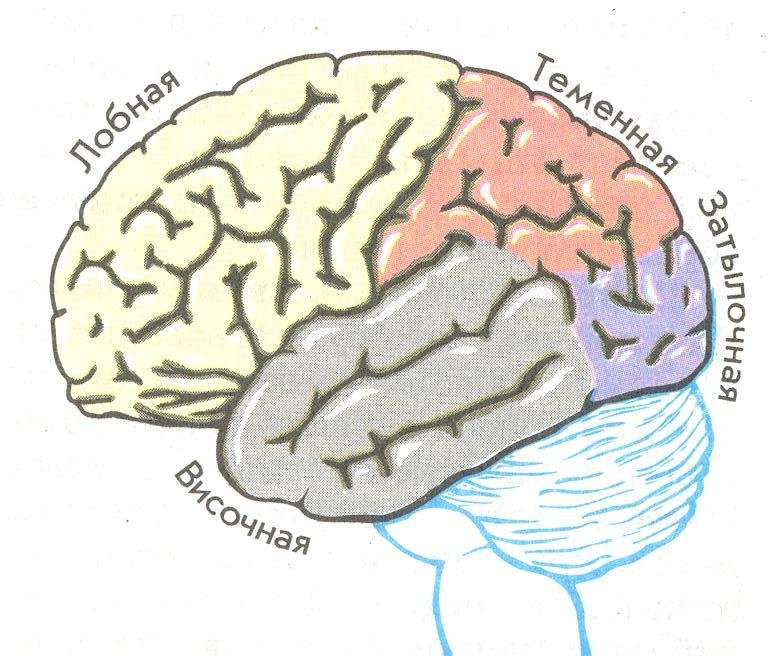 большие полушария мозга картинка нас