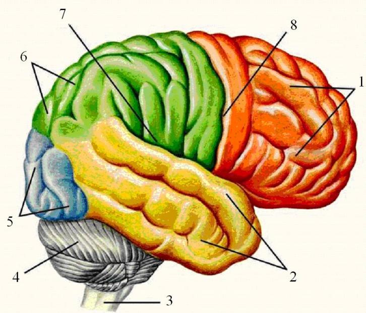 рисунки головного мозга человека два-три года